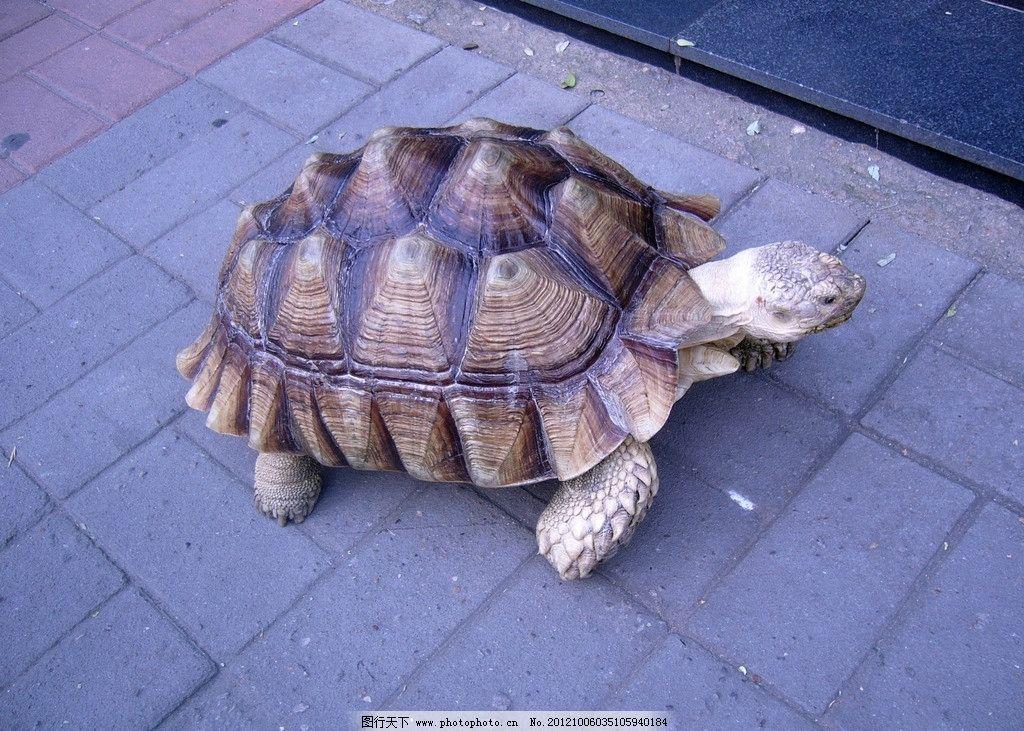乌龟 人行道 逛街 怡然自得 海洋生物 生物世界 摄影 72dpi jpg