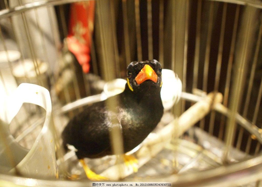 黑鹦鹉 小鸟 鹦鹉 休息 动物 飞行动物 会说话 宠物 黑色 红嘴 鸟类