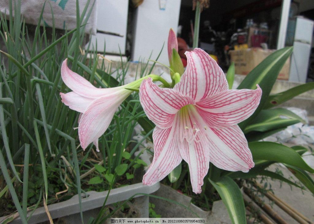 百合花 粉红色 摄影