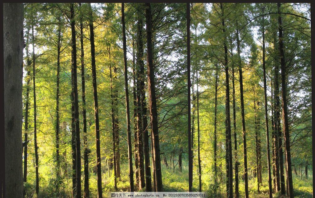树林 秋景 秋天树林 阳光下的树林 树木树叶 生物世界 摄影 72dpi jpg