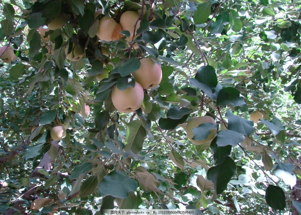 红富士苹果 苹果树 叶子 蓝天白云 摄影图片
