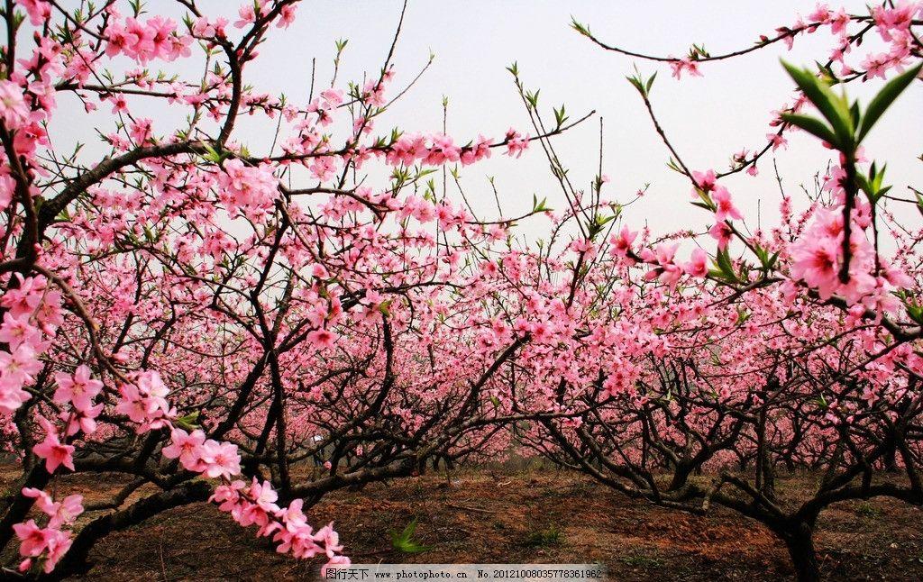 金昌春天的桃花儿童画