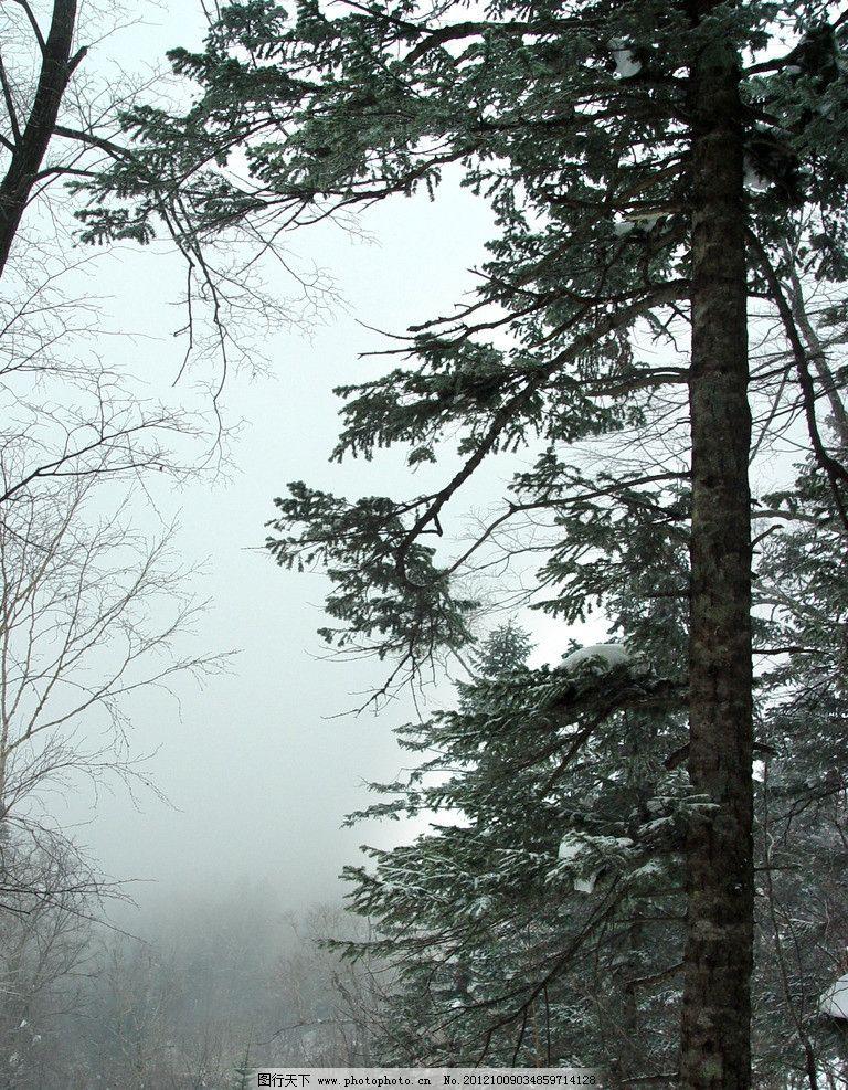 松林冬景 东北森林 寒冬 雪松 常青 树林 自然风景 自然景观