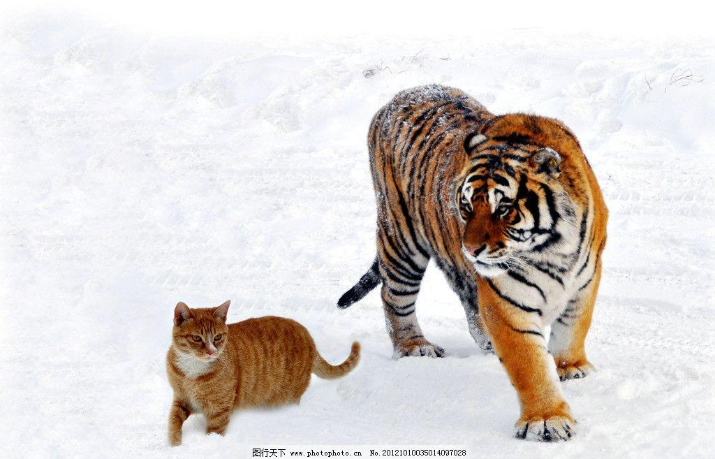 猫虎兄弟 东北虎 老虎 小猫 野生动物 生物世界 摄影 300dpi jpg