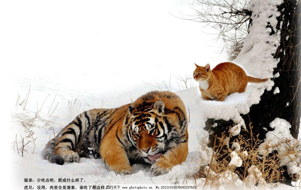猫虎兄弟 老虎 东北虎 小猫 雪地 老虎打盹 猫上树 野生动物 生物世界