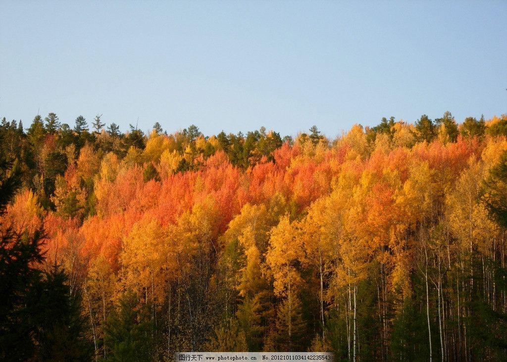 北部秋色 中国北部 原始森林 杨树 桦树 樟子松 蓝天 自然风景