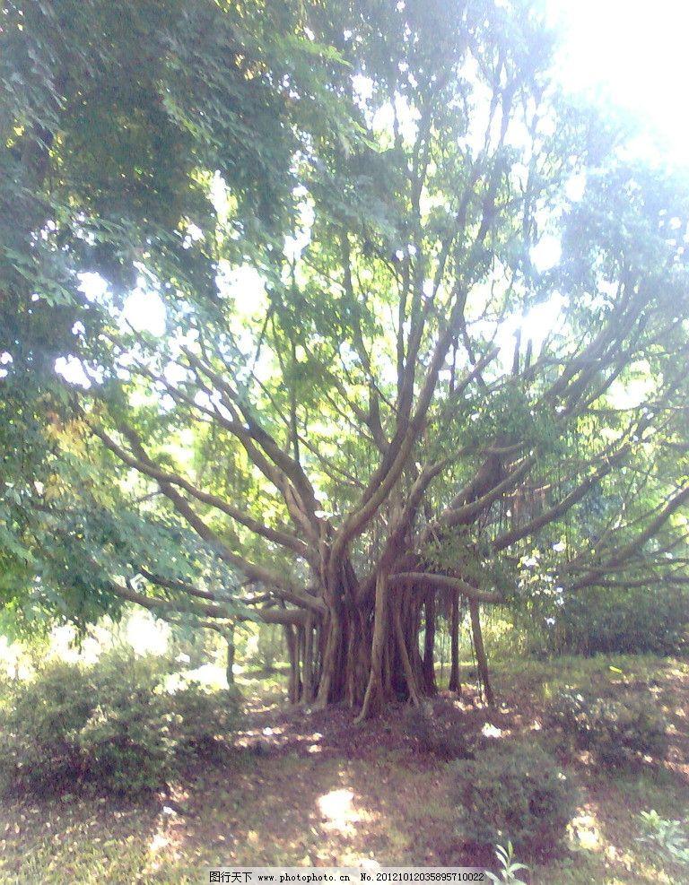 老树 绿树 植物园 广州 树木树叶 生物世界 摄影 300dpi jpg
