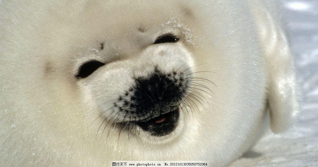 海狮 小海狮 动物 可能 北极 生物世界 野生动物 摄影图库 微笑