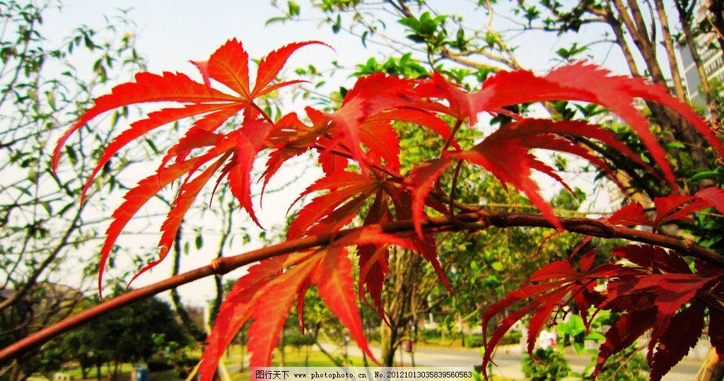 红枫叶 红色 树叶 其他 绿色树木 草地 建筑 树木树叶 生物世界 摄影