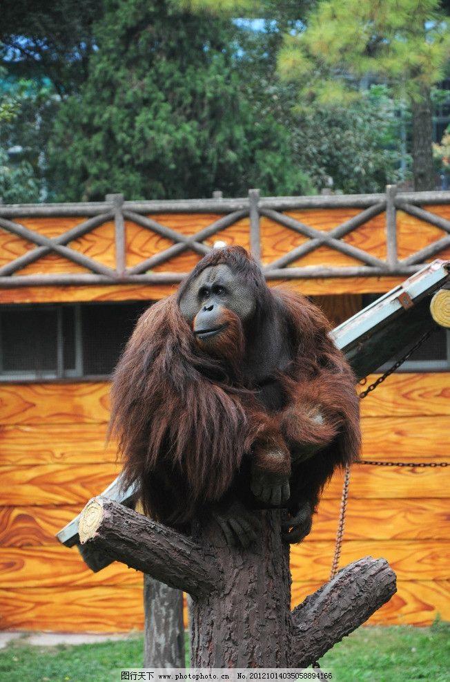 猩猩 大猩猩 野生动物 生物世界 摄影 300dpi jpg