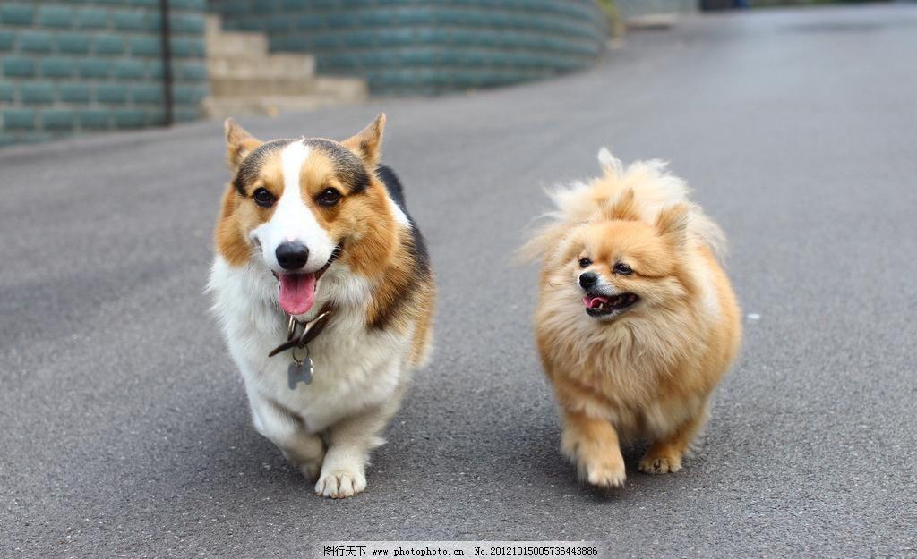 博美犬米米 柯基 威尔士柯基 柯基犬 可爱动物 家禽家畜 生物世界