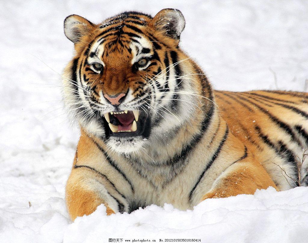 卧倒的老虎 卧着 野生动物 生物世界 摄影