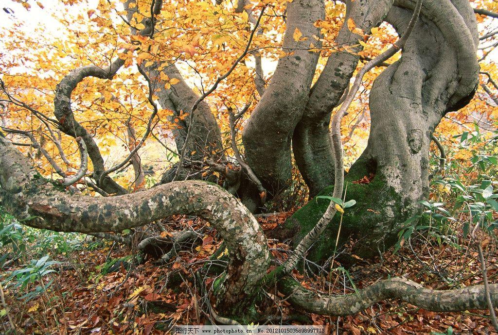 枫树摄影图片 森林枫叶 枫树 红叶 树枝 大树 树干 摄影 枫叶 秋天
