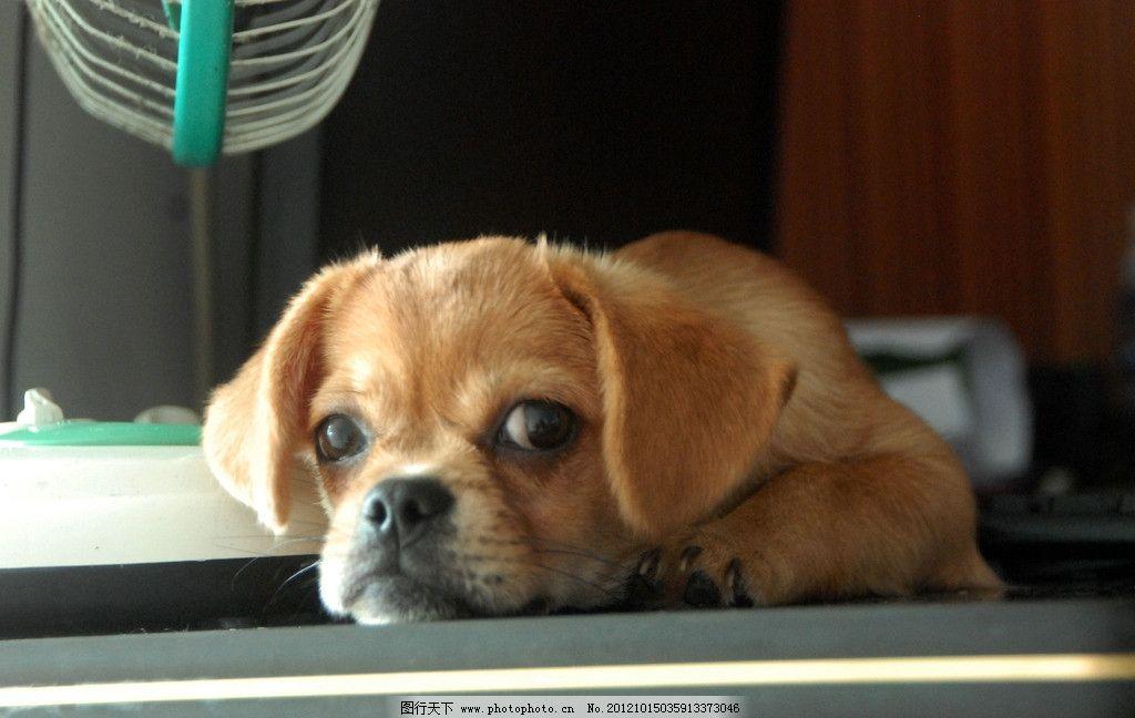 狗狗 可爱 趴着 家禽家畜 生物世界 摄影 300dpi jpg