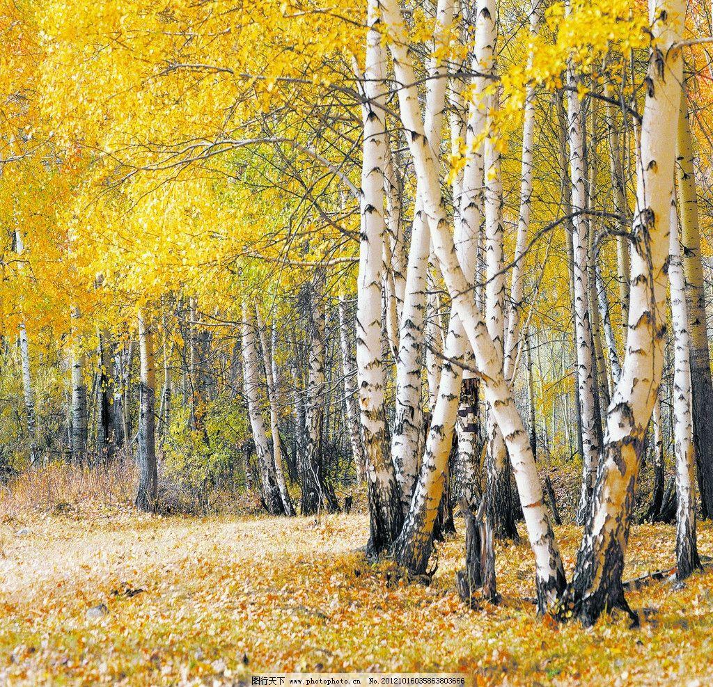 秋天 白杨 秋天风景 白杨树 树木树叶 生物世界 摄影 50dpi jpg