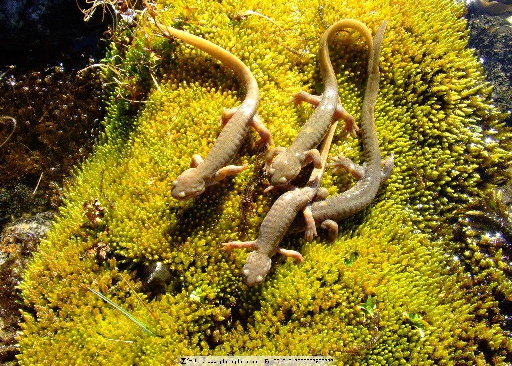 新疆北鲵 娃娃鱼 野生动物 温泉县北鲵 生物世界 摄影 72dpi jpg