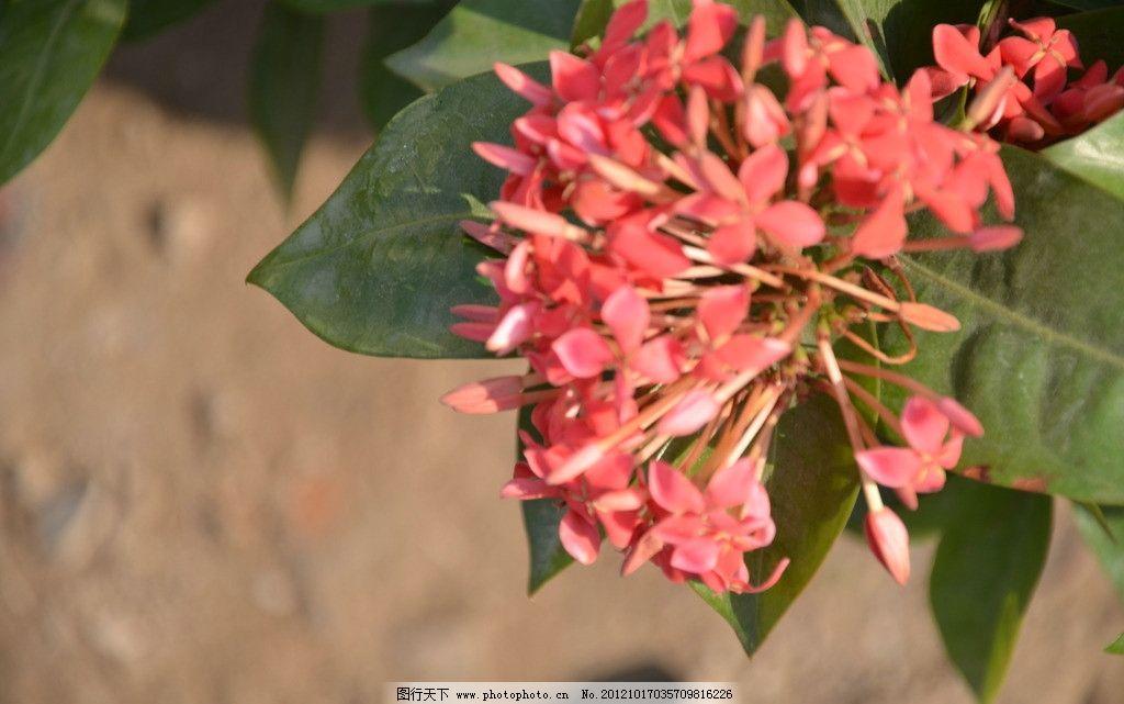 龙船花 花卉 英丹 木绣球 聚伞花序 顶生 花冠 高脚碟状 淡红色