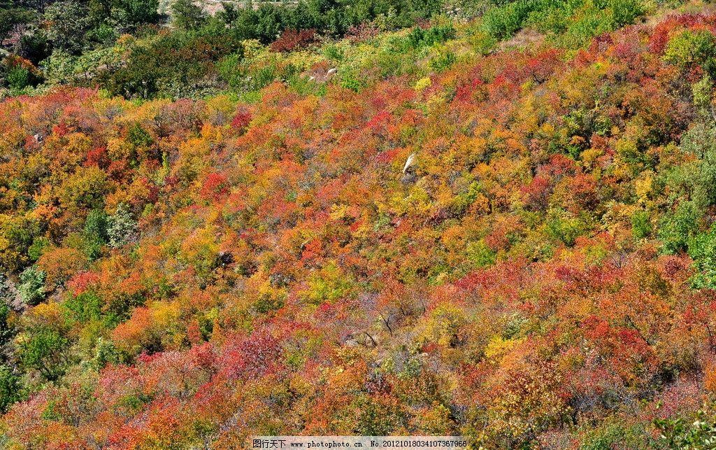 野长城秋色 北京 红叶 树叶 黄树叶 植物 自然风景 旅游摄影