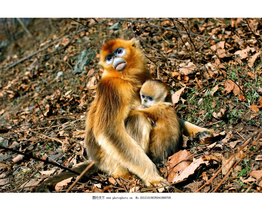 金丝猴 动物 秦岭金丝猴 国宝 野生动物 生物世界 摄影 300dpi jpg