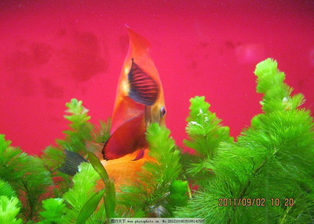 海底世界 金鱼 水草 水底 摄影