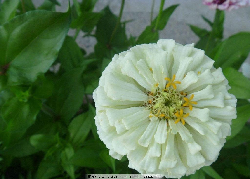 绿叶白花图片
