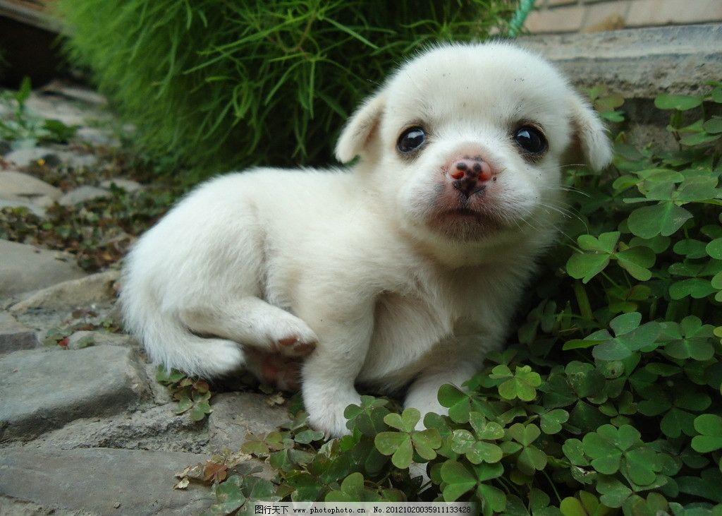 小狗 幼狗 小白狗 可爱 绿草 花鼻子 可爱小狗 家禽家畜 生物世界