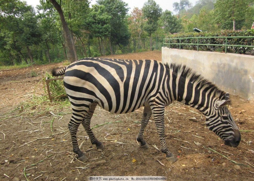 斑马 马 野生动物 野兽 动物园 生物世界 动物 摄影 180dpi jpg