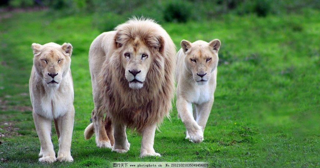 雄狮 狮子王 非洲 森林 丛林 狮子 辛巴 可爱 小狮子 野生动物世界