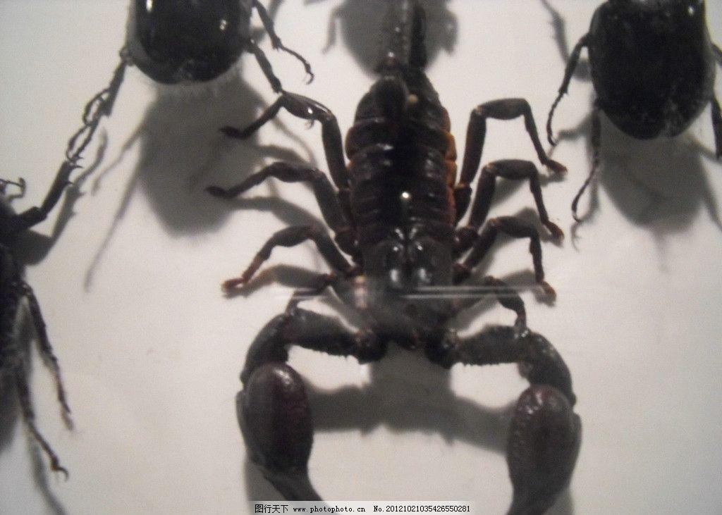 蝎子 动物 动物世界 恐惧 害怕 虫子 昆虫 生物世界 摄影 72dpi jpg
