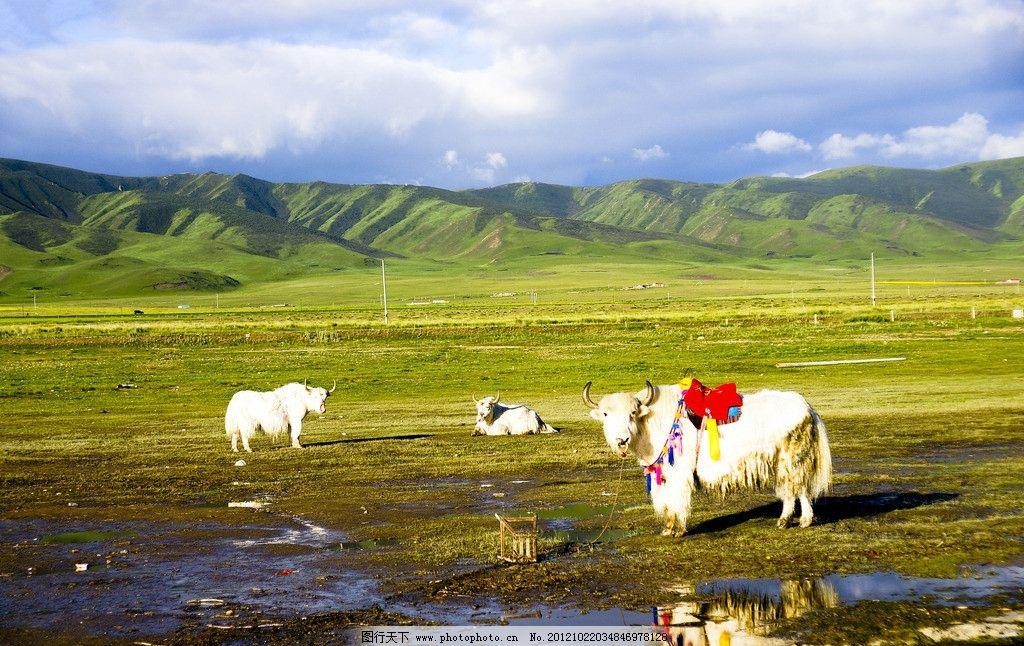 青海湖风光 草地 远山 蓝天 白云 牦牛 大美青海 山水风景 自然景观
