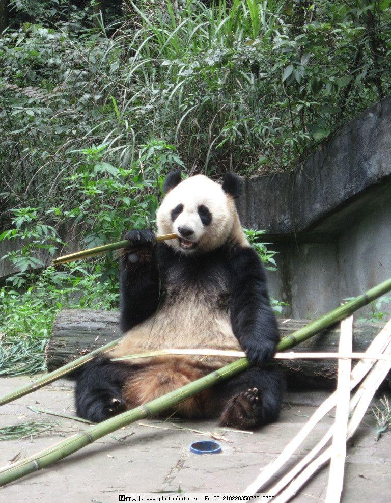 大熊猫 国宝 保护动物 摄影