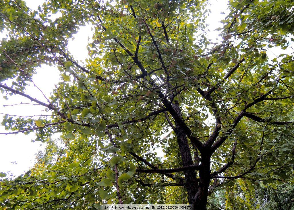 果子 银杏树 银杏果子 街道 摄影 树木树叶 生物世界 300dpi jpg