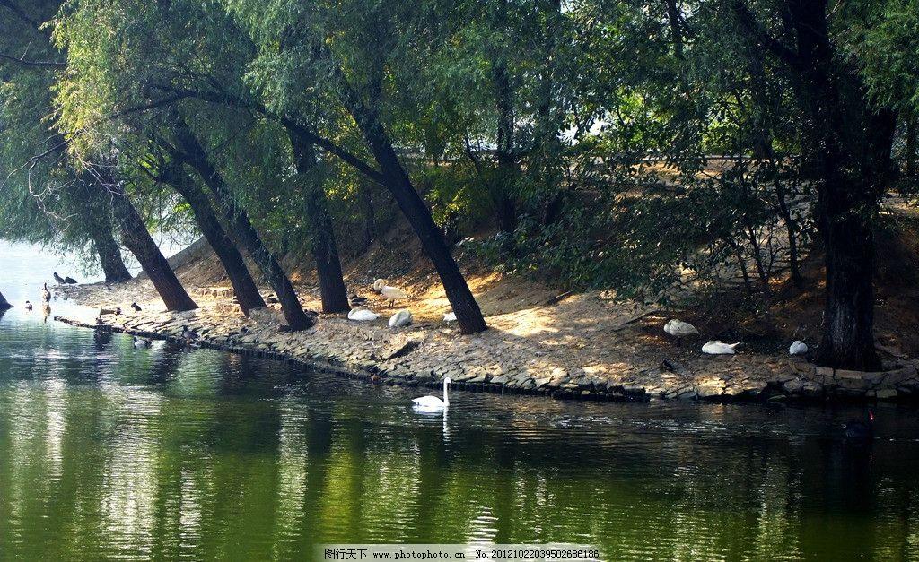 湖面倒影 天鹅 树林 湖面 波纹 水波 园林 公园 园林景观 园林建筑