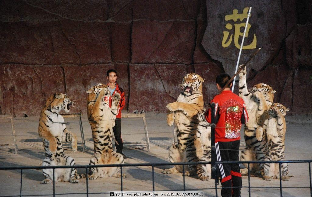老虎驯兽师 马戏团 动物园 动物表演 老虎 驯兽师 野生动物 生物世界