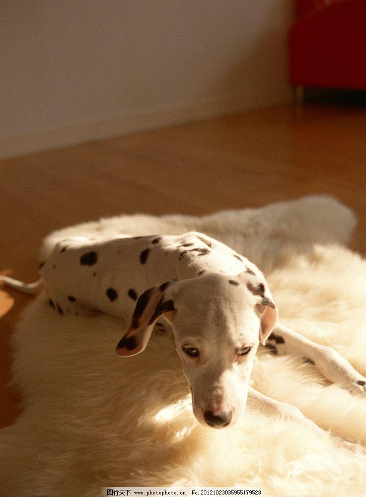 斑点狗 狗 小狗 可爱 宠物 动物世界 世界动物 动物 飞禽走兽 家禽