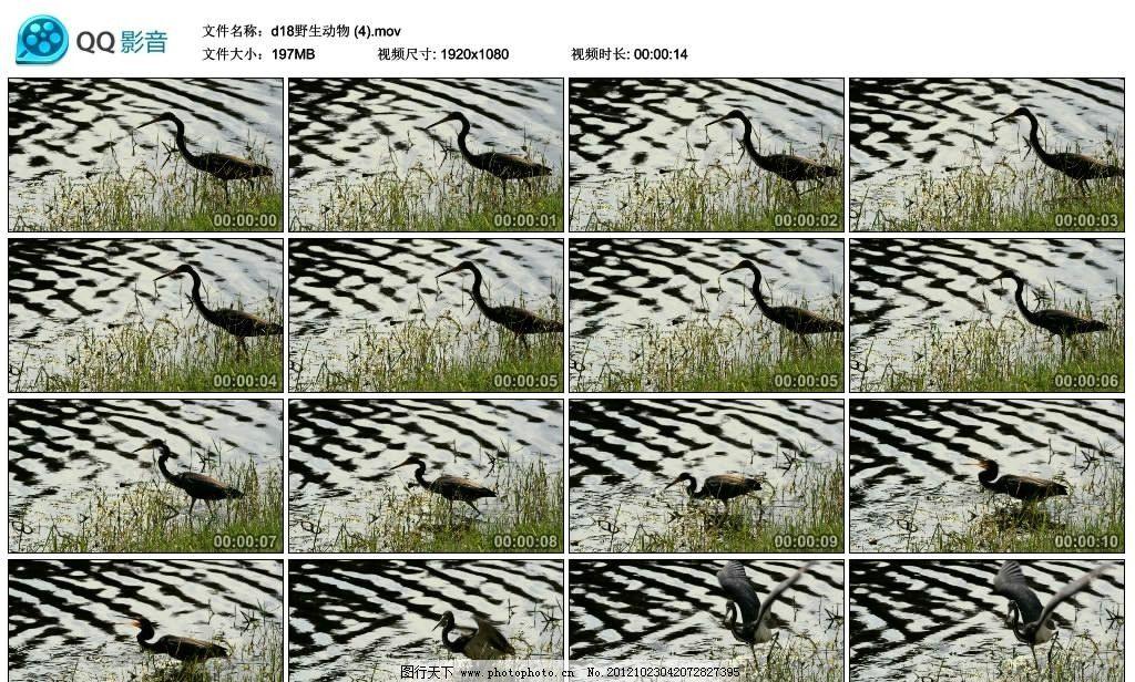 水鸟 鸟类 沼泽 池塘 水池 捕鱼 捕食 小鸟 丹顶鹤 仙鹤 高清 标清
