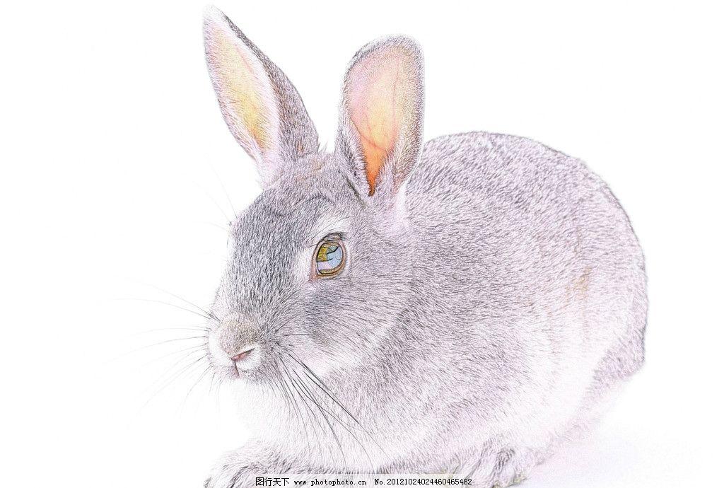 兔子 灰兔子 小白兔 小兔 野生动物 生物世界 设计 350dpi jpg