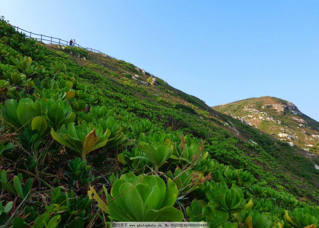 山坡地适合种植泡桐树