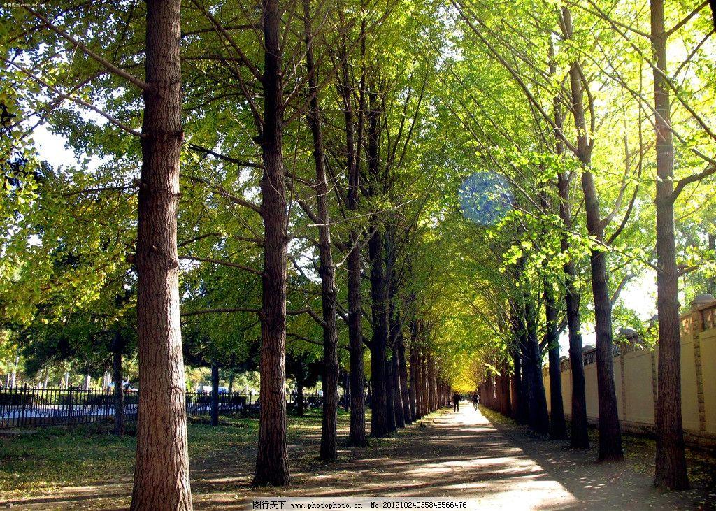 树林 银杏 银杏树 公园 树荫 草地 生态公园 树木树叶 生物世界 摄影