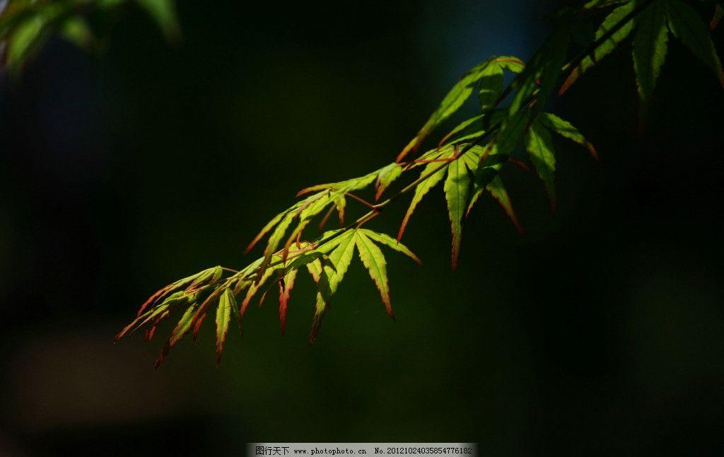枫叶 植物 绿叶 树枝 花草 树木树叶 生物世界 摄影 72dpi jpg