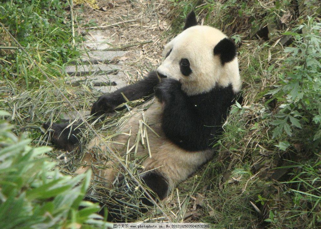 大熊猫 成都大熊猫基地 嬉戏 吃竹子 野生动物 生物世界 摄影 72dpi