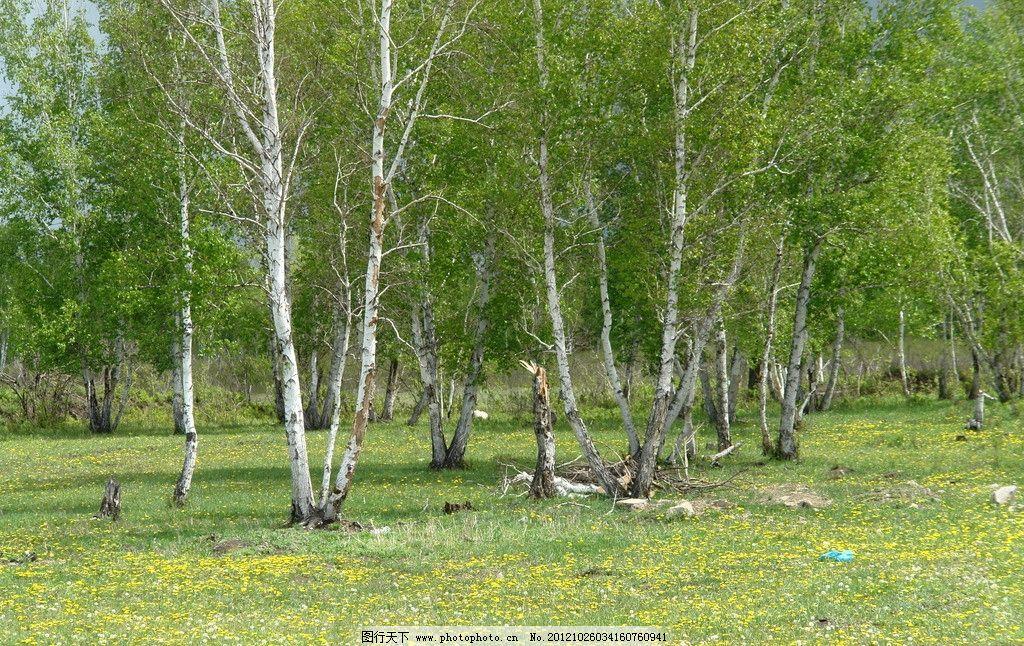 蓝天 白云 草地 绿草青青 远处树木 白桦树林 矮草 野花 自然风景
