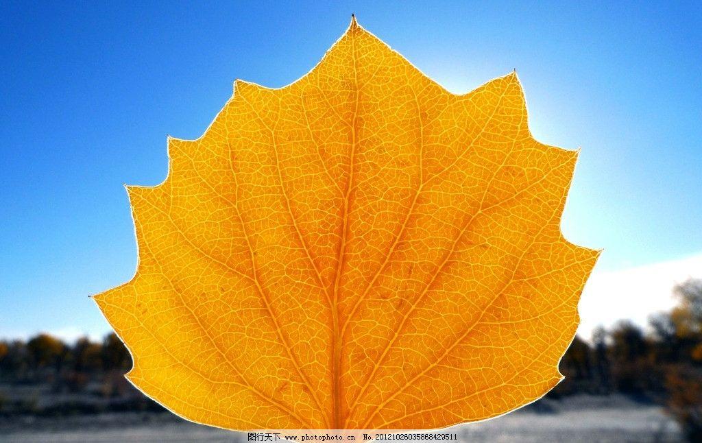 黄金叶 胡杨 金秋胡杨 胡杨林 树木树叶 生物世界 摄影 180dpi jpg