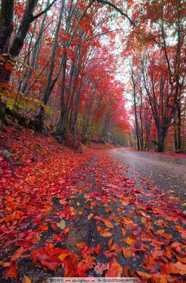 高清秋景 秋韵 秋色 乡间 意境 树林 马路 秋天枫叶 红叶 树叶