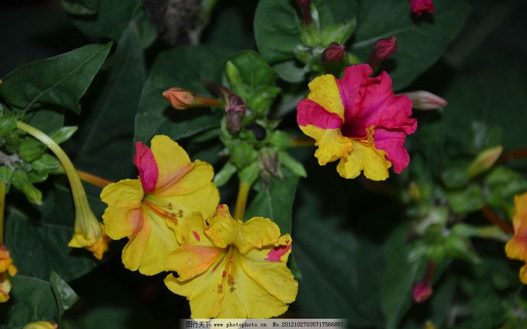 紫茉莉 花卉 草茉莉 胭脂花 花冠 漏斗形 边缘 波状 浅裂 复色 花卉