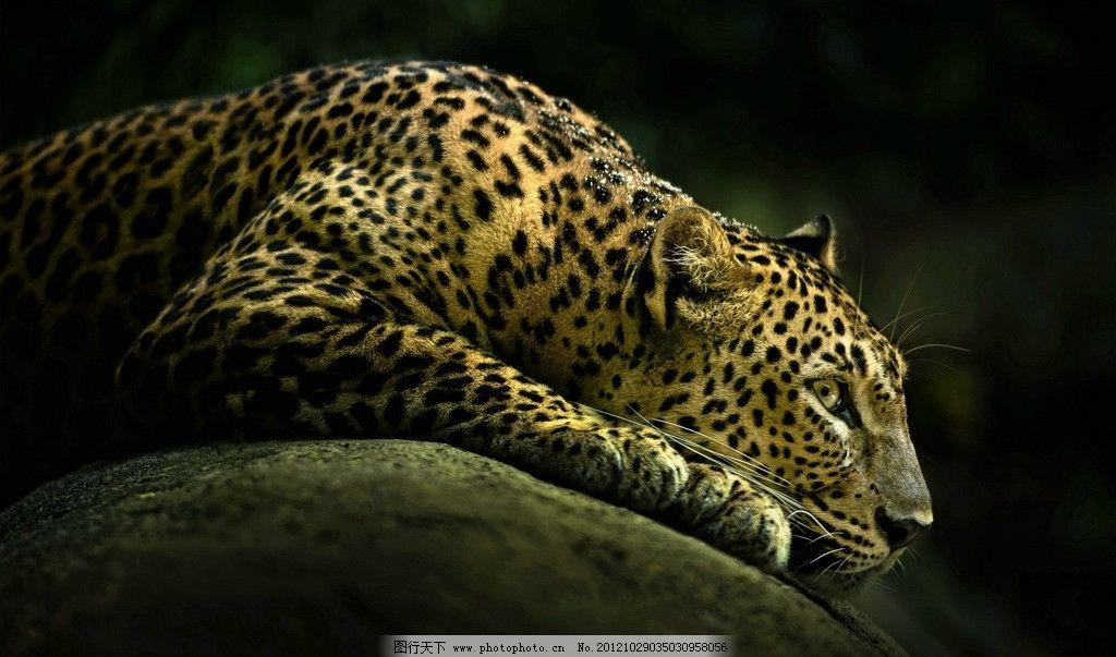 猎豹 花豹 野生动物 生物世界 摄影