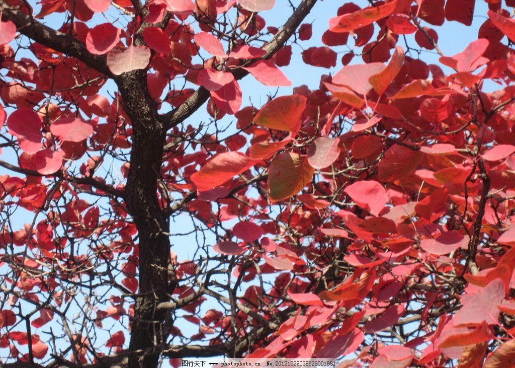 香山红叶节图片图片