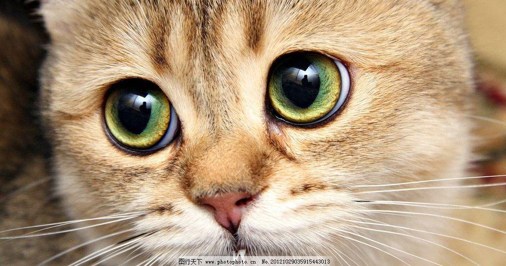 猫咪 可爱 宠物 室内 黛西 卖萌 小温馨 花色 眼神 宠爱 猫眼 毛发