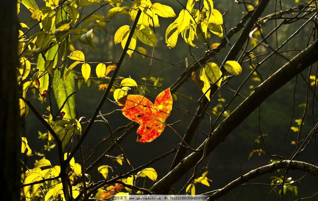 枫叶 枫树 树枝 树叶 绿叶 红叶 摄影 dpi240 树木树叶 生物世界 240