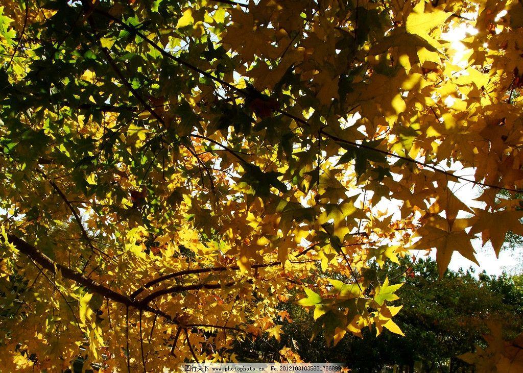 秋天树叶图片_树木树叶_生物世界_图行天下图库